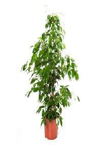 Ficus Benjamina Outdoor Plant