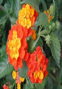 Lantena Flower Plant