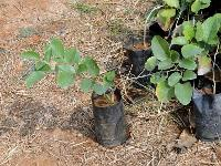 Red Sandal Plants