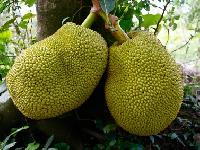 Fresh Jack Fruit