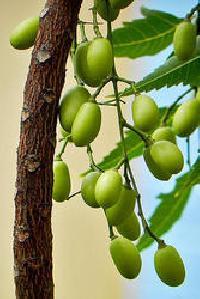 Neem Fruits