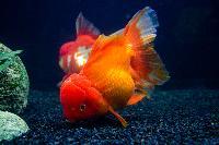 Ornamental Fish