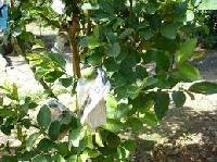 Guava G-Blass Plant