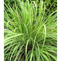 Lemon Grass Plants