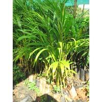 Areca Palm Plants
