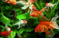 Aquarium Fishes - Efgc Biological Farm
