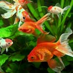 Aquarium Fishes - Manufacturer, Exporters and Wholesale Suppliers,  Tamil Nadu - Efgc Biological Farm
