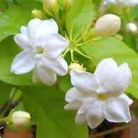 Jasmine Oil- Jasminum Sambac