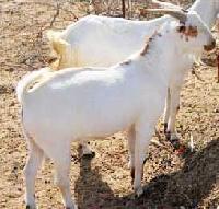 Barbari Buck Goat