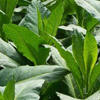 Tobacco Leaves - Manufacturer, Exporters and Wholesale Suppliers,  Gujarat - Puja Traders