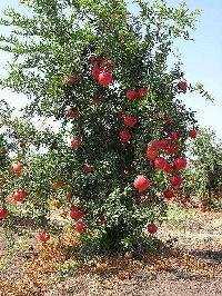 Pomegranate Plants