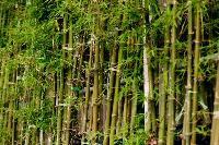 Bamboos Plant