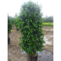 Ficus Black