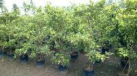 Fruit Plants - Manufacturer, Exporters and Wholesale Suppliers,  Andhra Pradesh - Greenworld Nursery