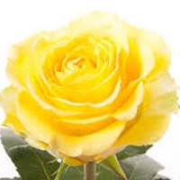 Fresh Yellow Rose Flowers