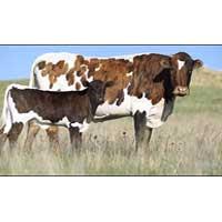 Cross Breed Cow