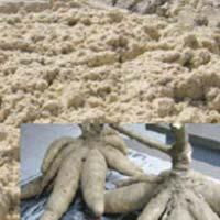 Wet Cassava Flour
