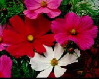 Cosmos Sensation Flower Seeds