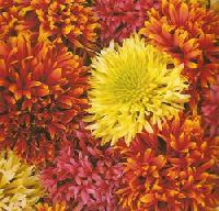 Gaillardia Mixed Flower Seeds