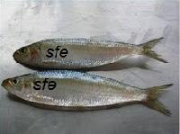 Oil Sardine Fish