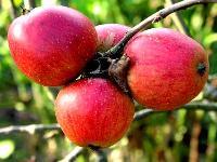 Royal Apples