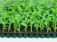 Tissue Culture Banana Plants