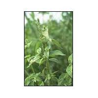 Achyranthes Aspera Herbs