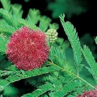 Mimosa Pudica Herbs
