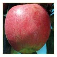 Amri Apples