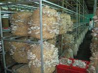 Dry Oyster Mushroom 04