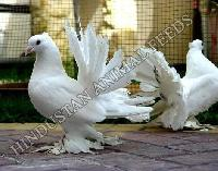 Breeding Pigeon Feed