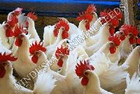 Layer Breeding Poultry Feed