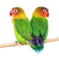 Love Bird Breeder Feed