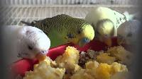 Love Bird Feed