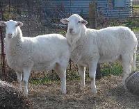 Sheep Fattening Feed