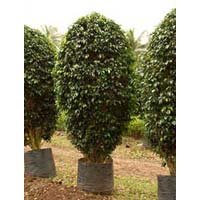 Ficus Black Big Trees