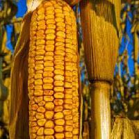 Maize, Yellow Corn