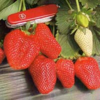Rania Strawberry Plant