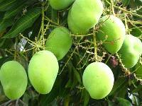 Mangoes