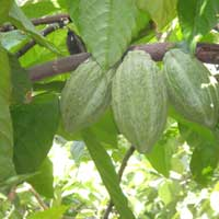 Unfermented Cocoa Beans