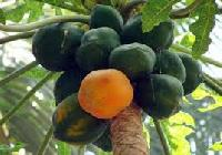 Carica Papaya