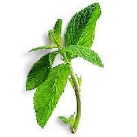 Dehydrate Mint Leaves