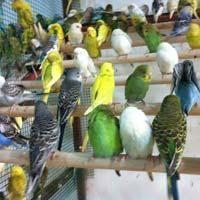 Live Exotic Birds