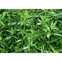 Andrographis Paniculata - Manufacturer, Exporters and Wholesale Suppliers,  Andhra Pradesh - Surya Herbal Extracts