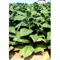 Tobacco Leaves (03)