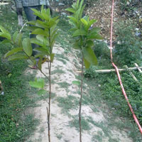 Grafted Guava Plant