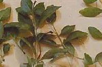 Organic Henna Leaves (lawsonia Inermis)
