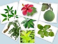 Medicinal Herbal Plant