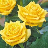 Dutch Roses