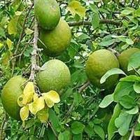 Bael Fruit Plant
